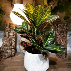 Croton con base decorativa